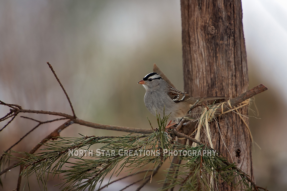 White Crowned Sparrow copy.jpg