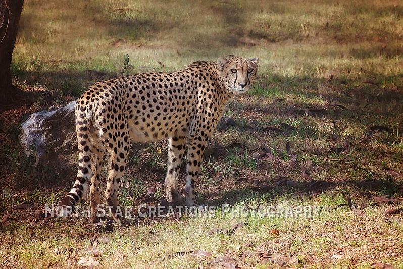 Cheetah copy.jpg