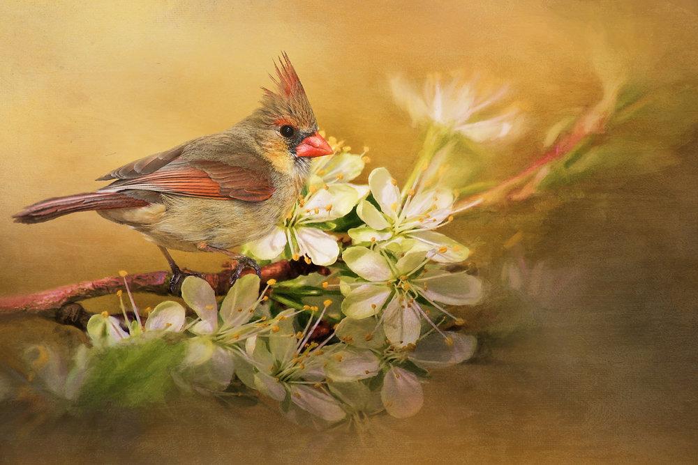 Female cardinal and blossoms copy.jpg