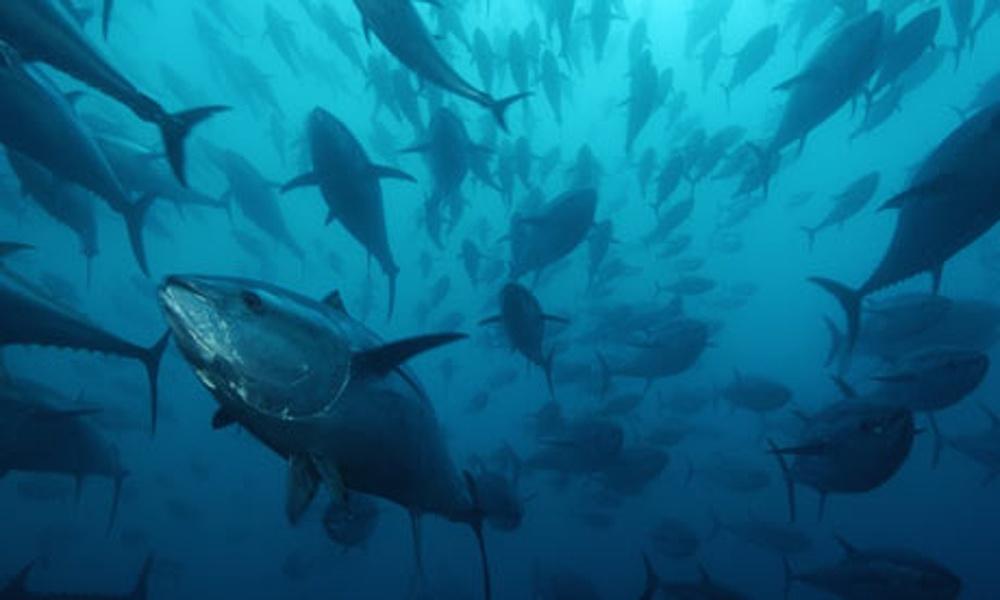 Ocean fish numbers collapsing