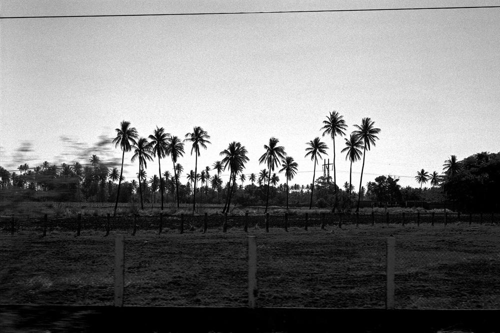 Chiapas palm trees, December 2012