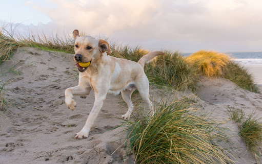 Pic Yellow Lab Beach.jpg