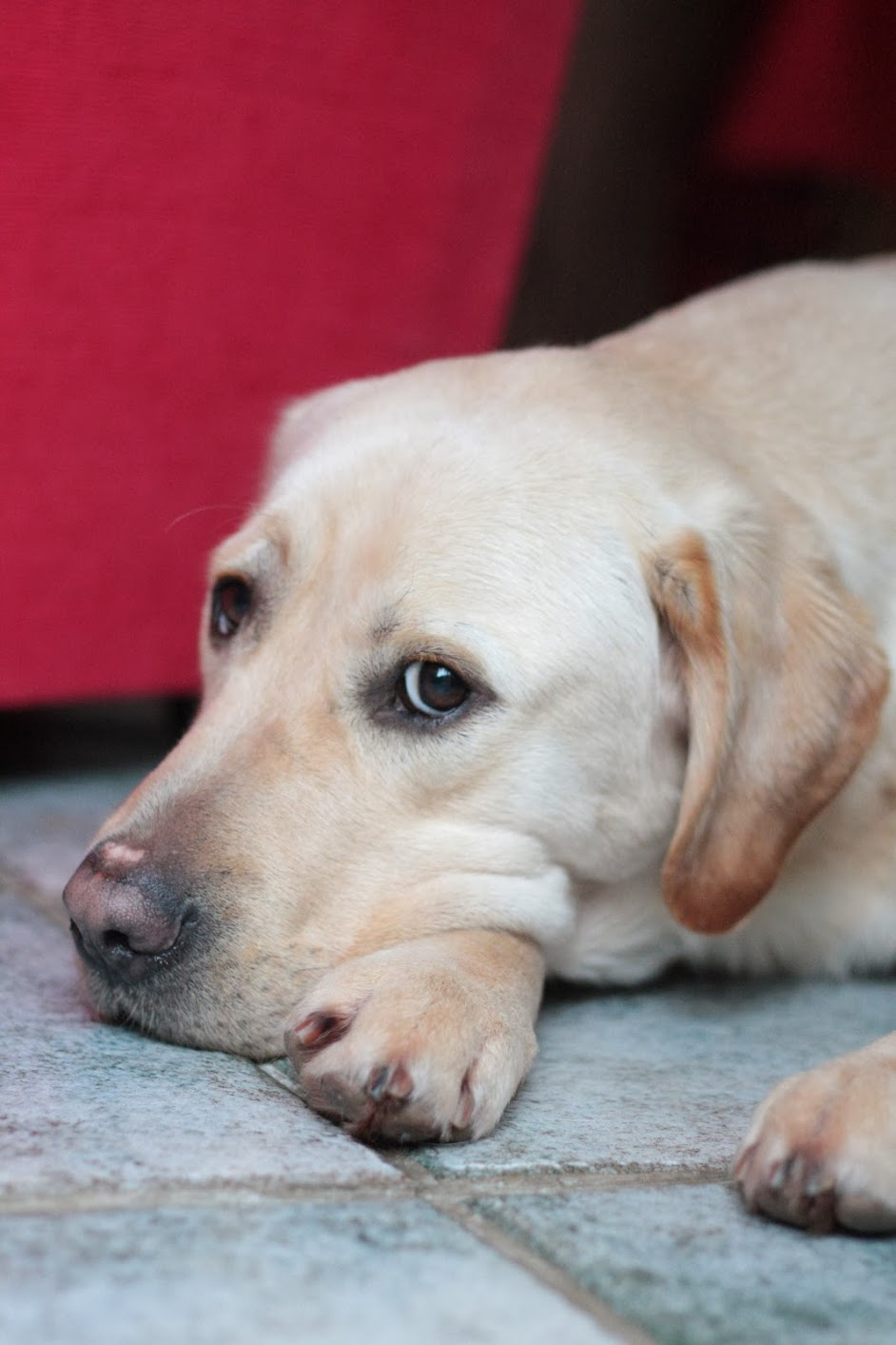 Pic Yellow Lab Laying Down.JPG