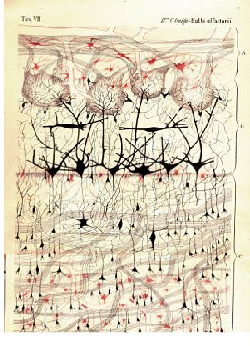 Olfactory glomerular circuits (Golgi, 1875)