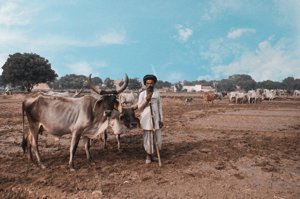 Indisk mann gjeter kyr
