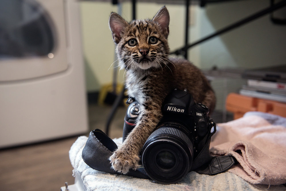 Orphaned Bobcat and Camera