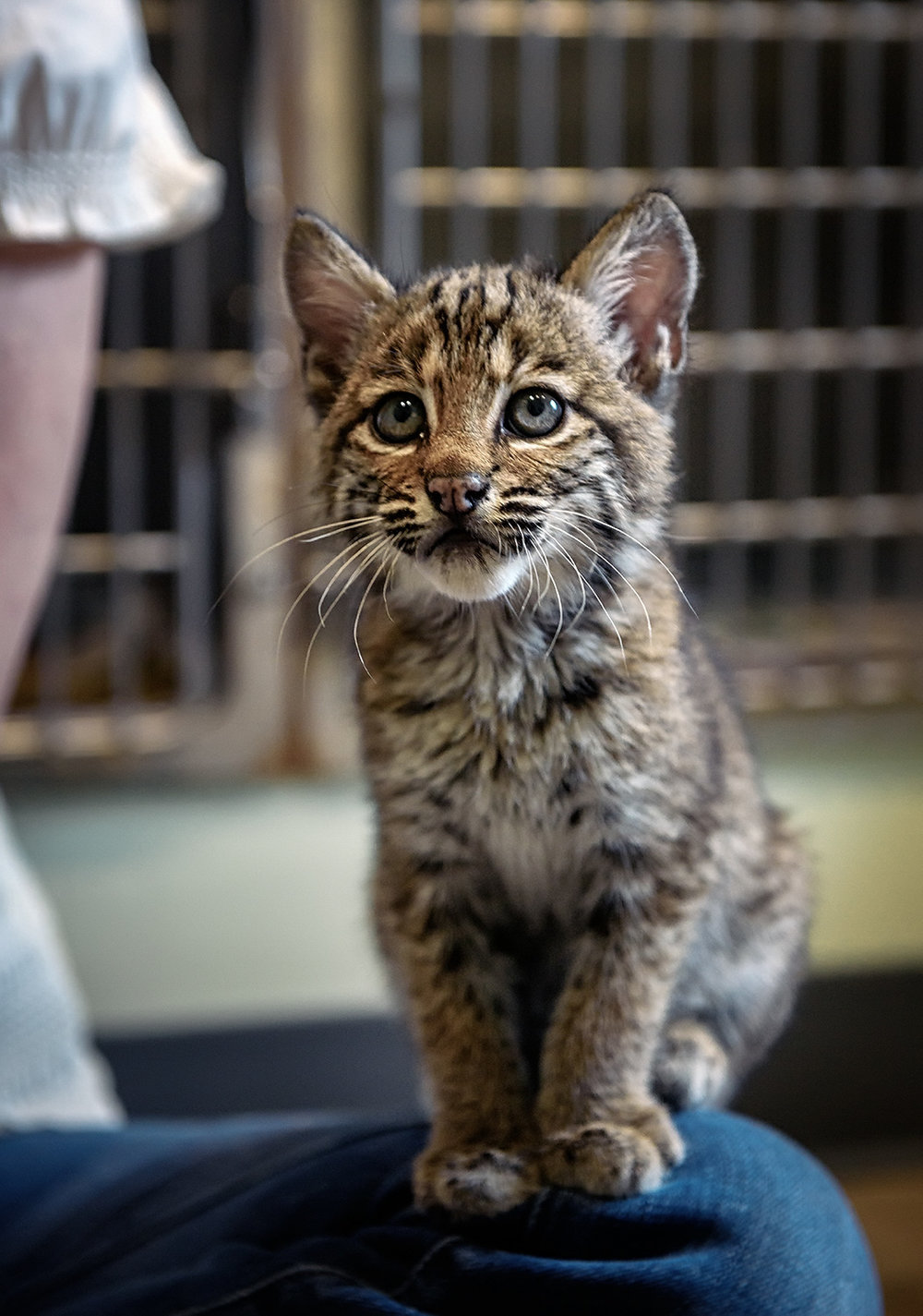 Bobcat Kitten Meets Pamela