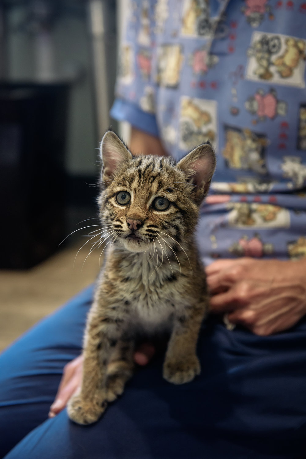 Orphaned Bobcat Perched