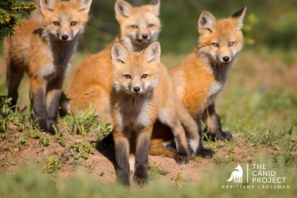 Fox-kits---Brittany-Crossman.jpg