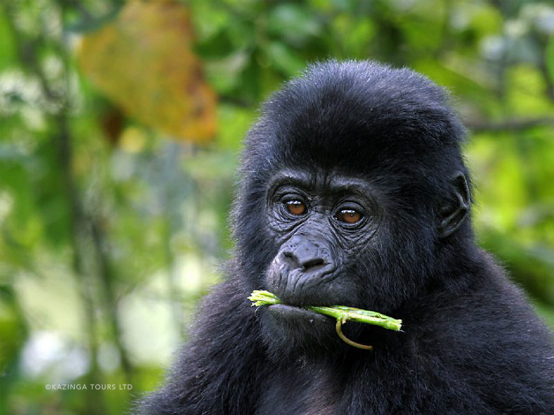 YOUNG MOUNTAIN GORILLA - BWINDI IMPENETRABLE
