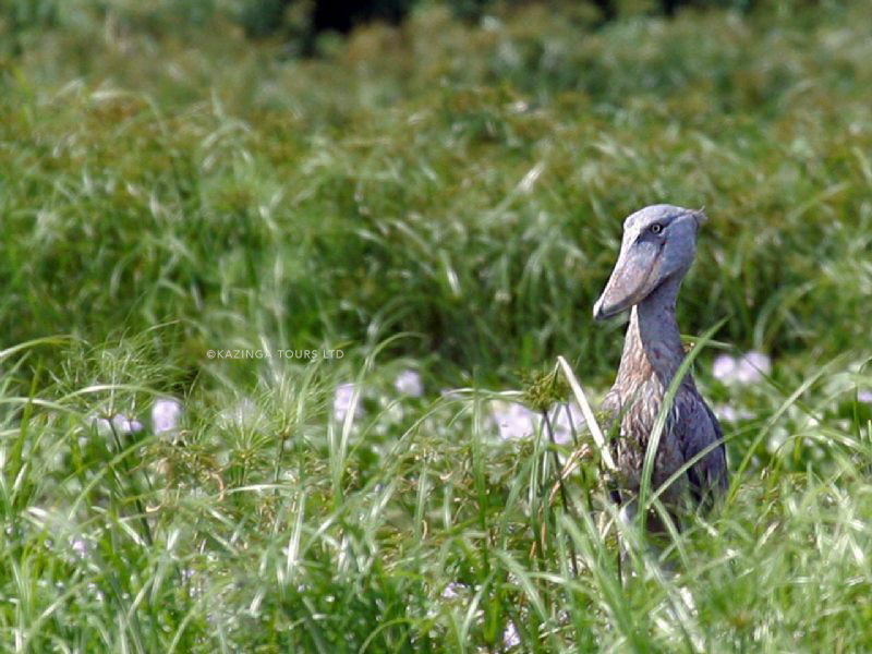 THE ELUSIVE AND RARE SHOEBILL