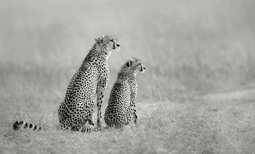 CheetahAndYoung-WPOTY-201712.jpg