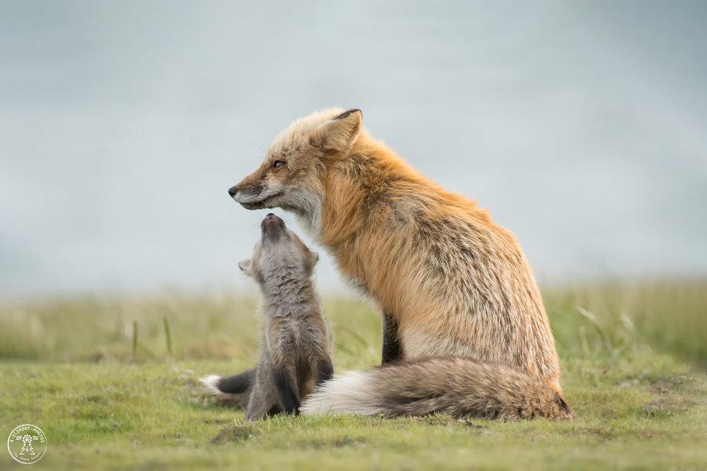 Fox+Kisses.jpg