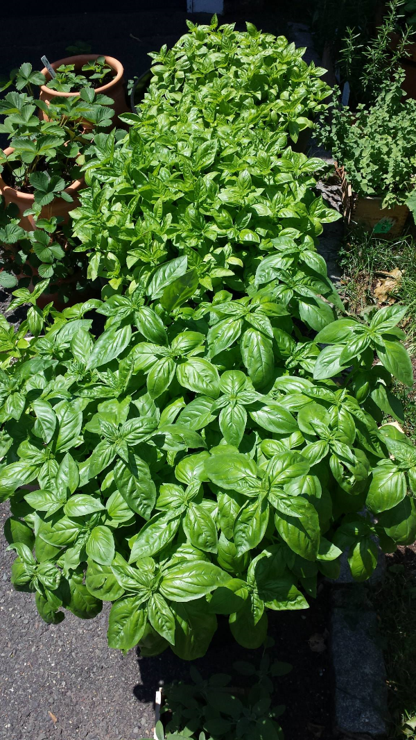 My good fortune of Basil in 2014. I'm hoping for the same in 2015 (Crossing fingers)