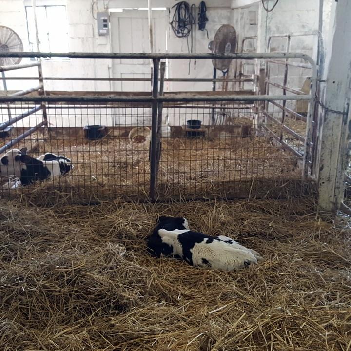Cow calf born that morning