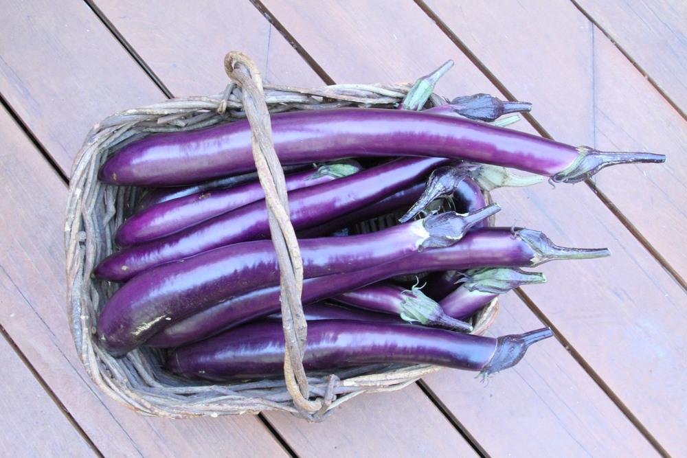 Ichiban eggplant harvest