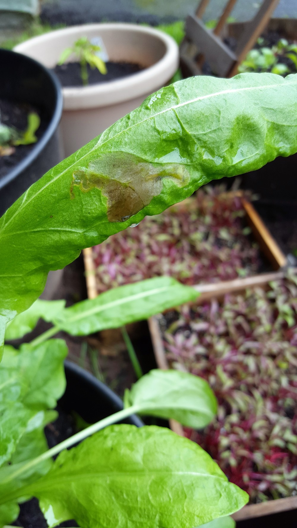 Leaf miners in my sorrel