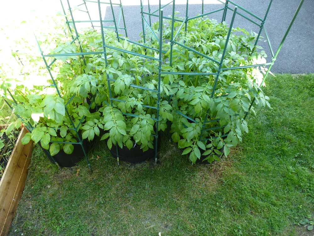 Potatoes growing in sacks