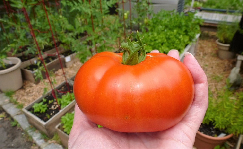 First big tomato - Caiman Tomato