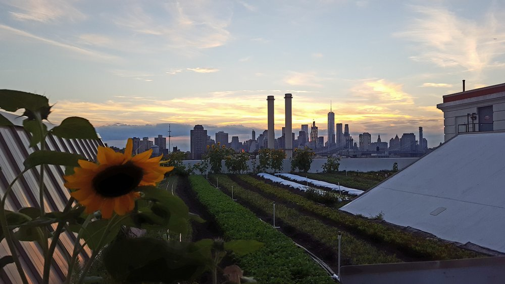 View of The Brooklyn Grange Rooftop Garden with the skyline behind it