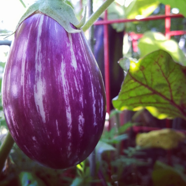 Some of my garden eggplant this year.