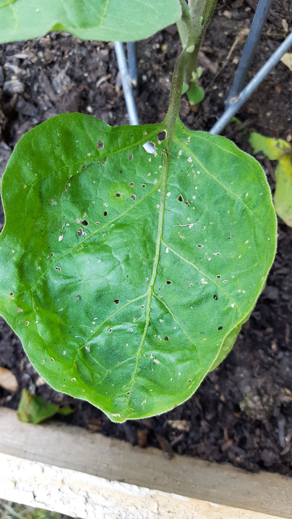 flea-beetle-damage