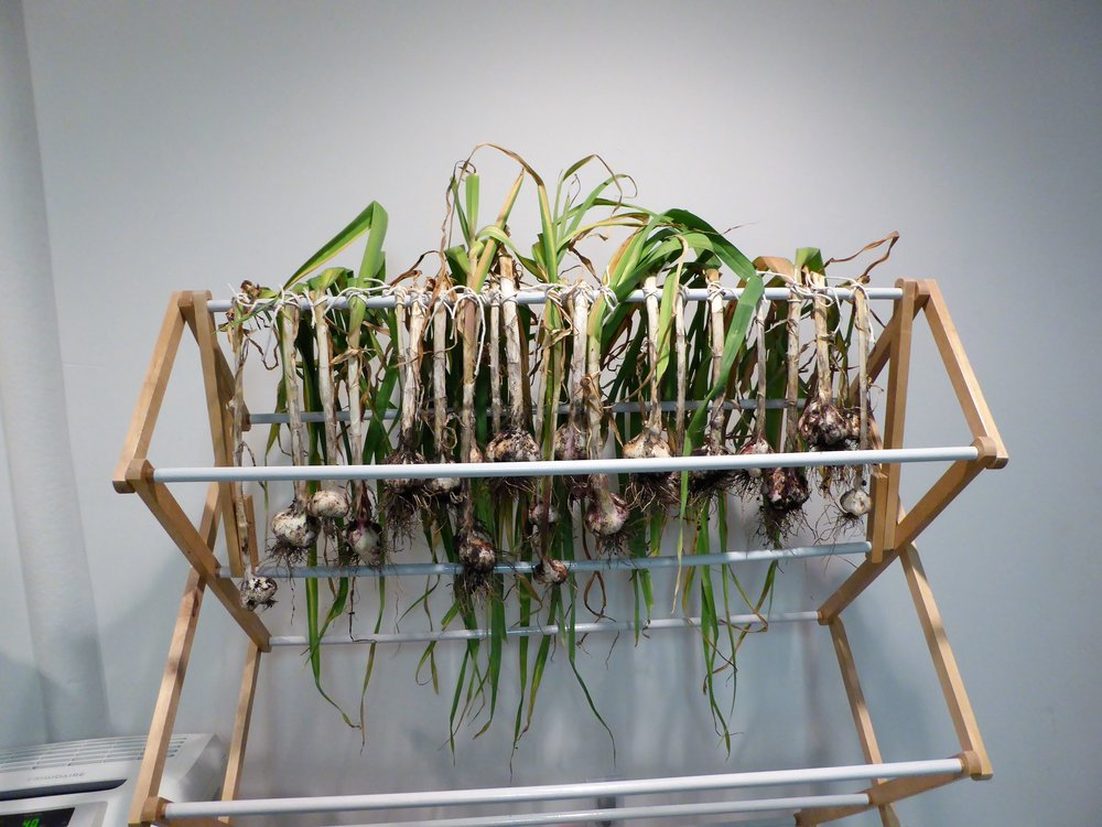 A simple clothes-drying rack can be used to dry garlic