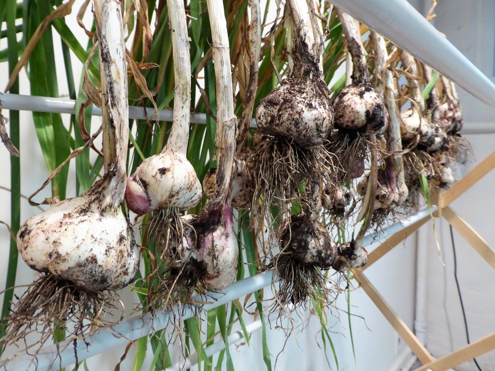 The clothes-drying rack worked perfectly for drying garlic