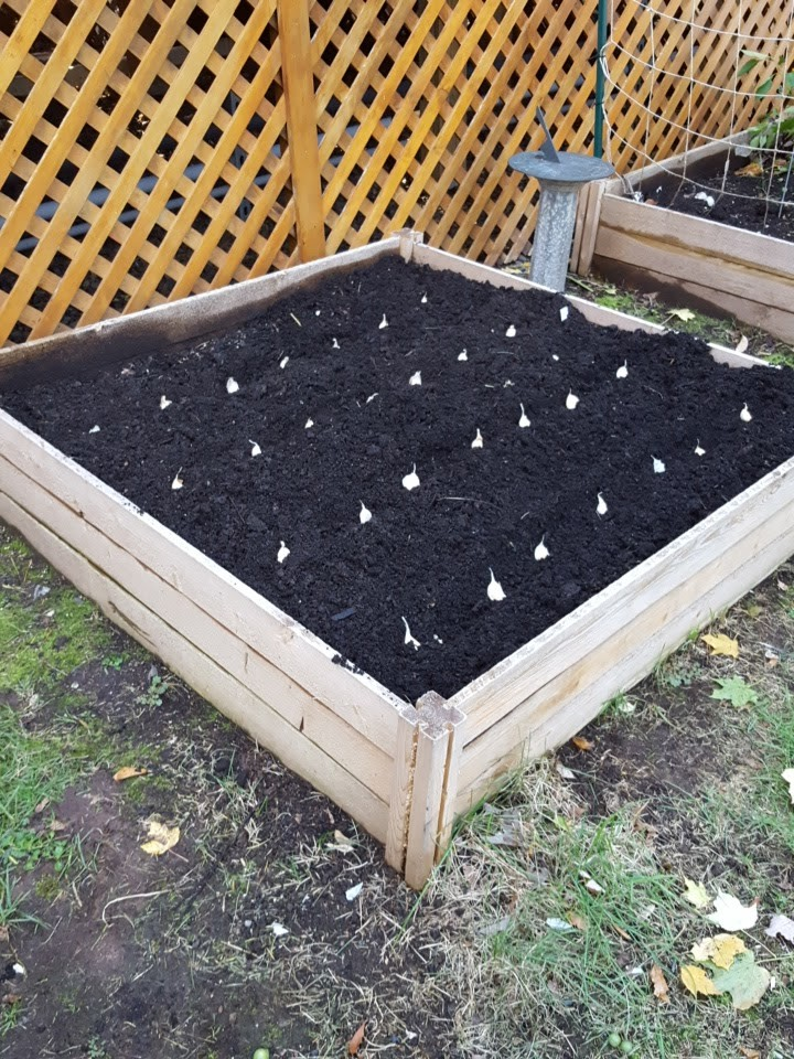 Garlic clove plantings