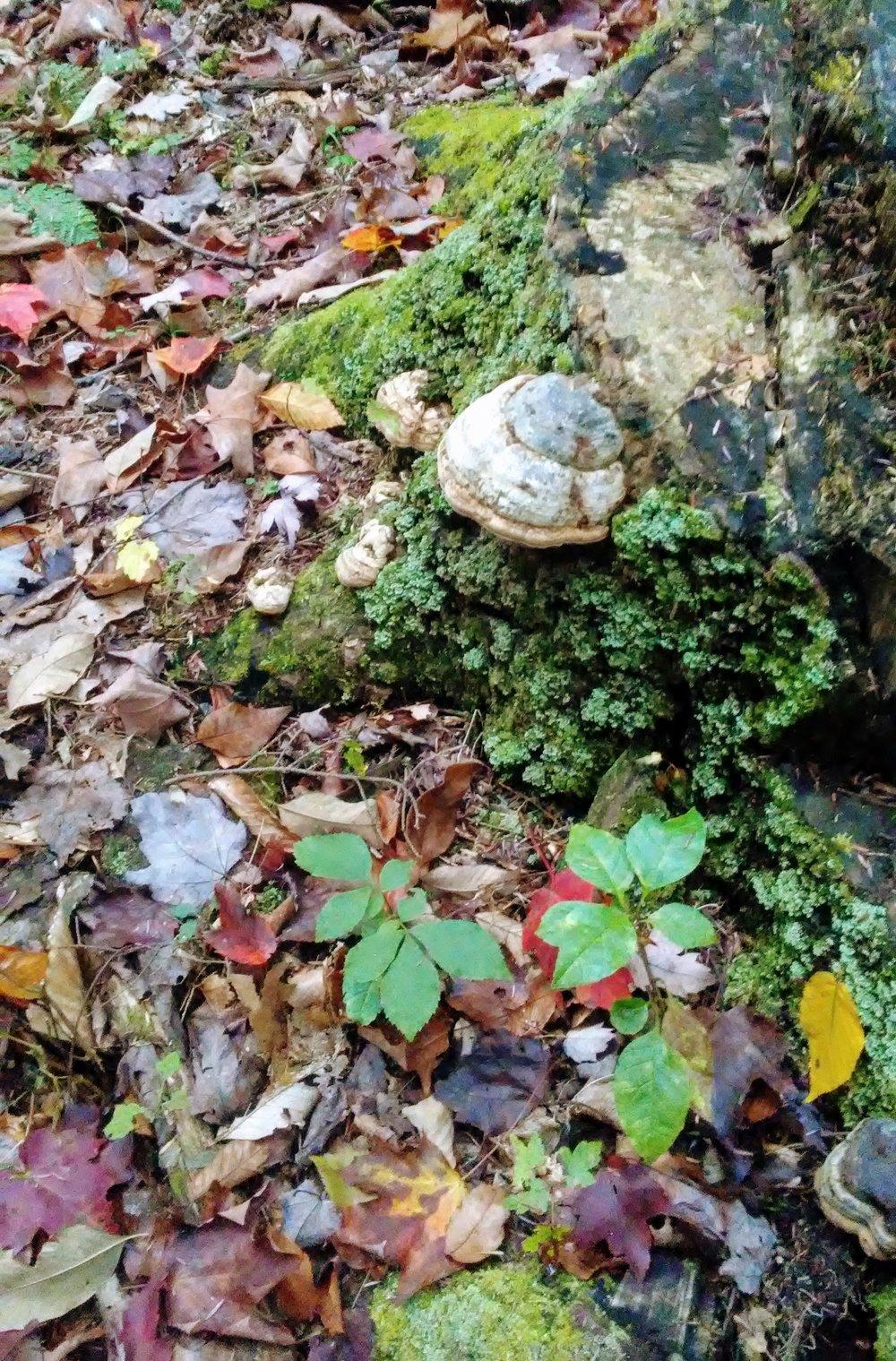 Fomes fomentarius - Horsehoof Fungus