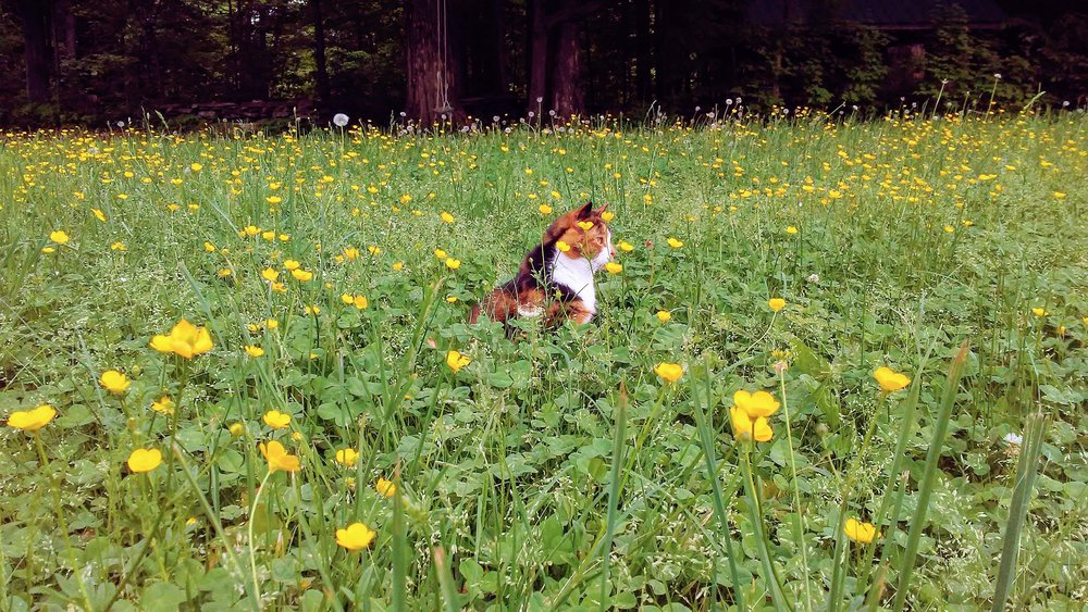 Last but not least, here's an adorable picture of our beloved cat, Crab Cake, pondering the mysteries of life amongst the buttercups on the gamefield. It truly is a beautiful time on the farm, and we're super excited for the countdown to camp. Time to get back to work. That includes you, Crab!