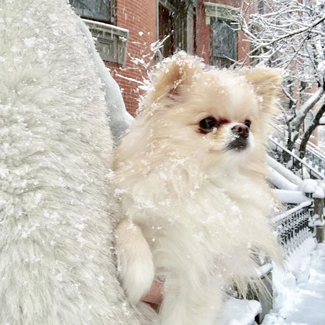 We may not have a white Christmas this year but we have each other. What is your favorite Christmas tradition? ❄️☃️🐶❄️. . . .  #Pomeranian #pomeranianpuppy #pomeranianlove #pomeranianpage #pomeranianlovers #pomeranianlife #pomeranianofinstagram  #instapuppy #instadogs #dogstagram  #fluffydog  #Christmas #christmaseve #tistheseason #christmastime #happyholidays #merrychristmas #merrymerry #xmas #whitechristmas #boston #snowy #snowing #snow