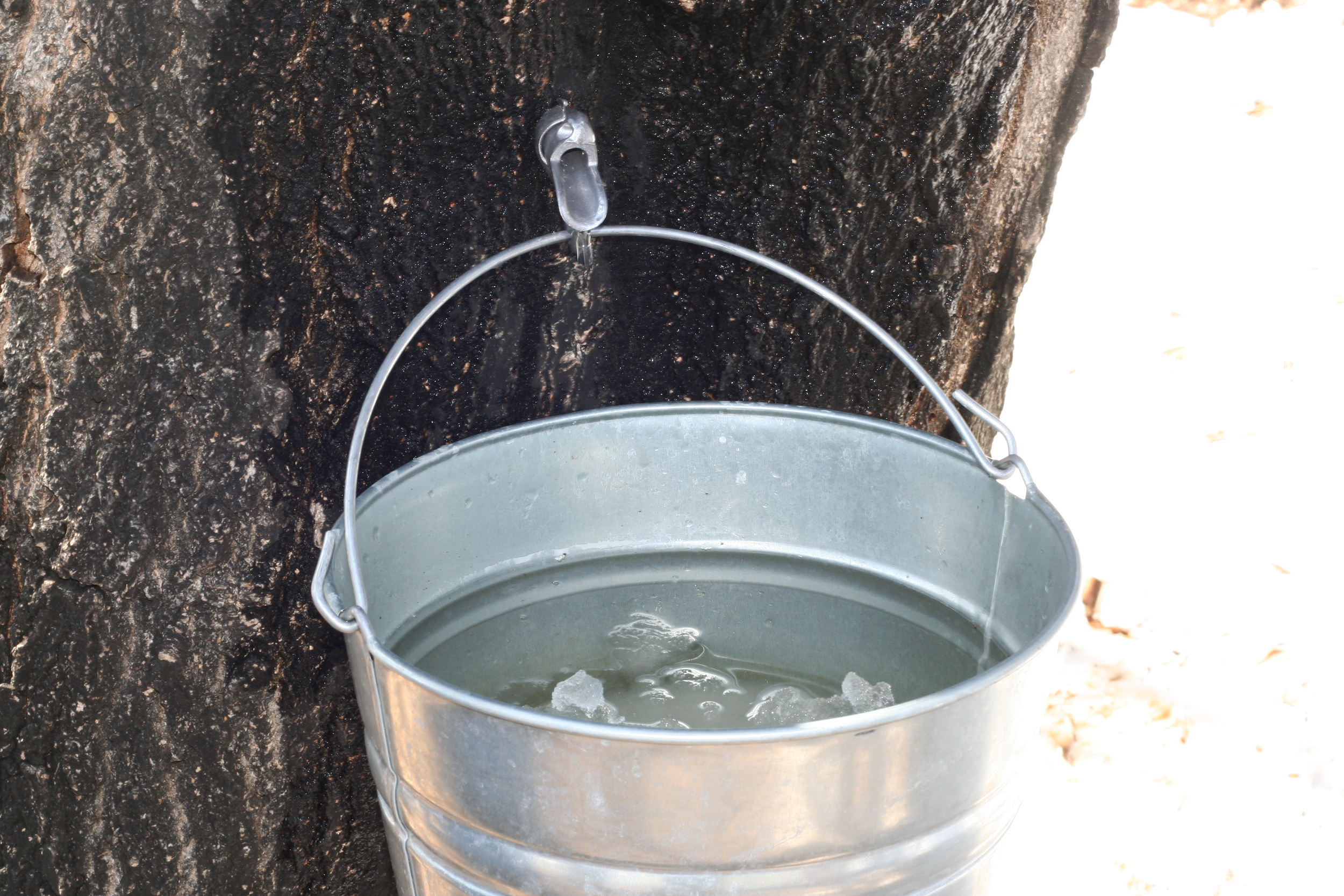 Tree being tapped