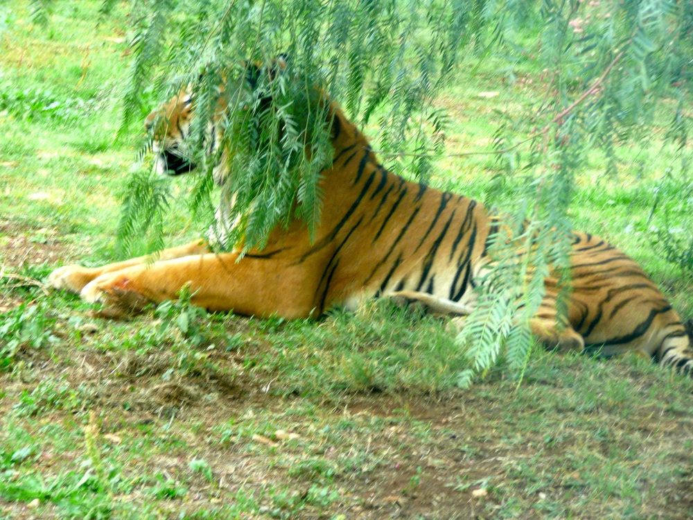 Tiger, almost within stroking distance