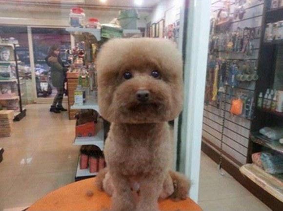 Square-Cut-Poodle.jpg