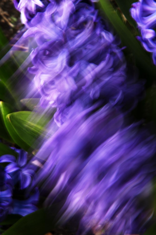 Hyacinths, No. 1
