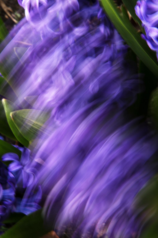 Hyacinths, No. 2