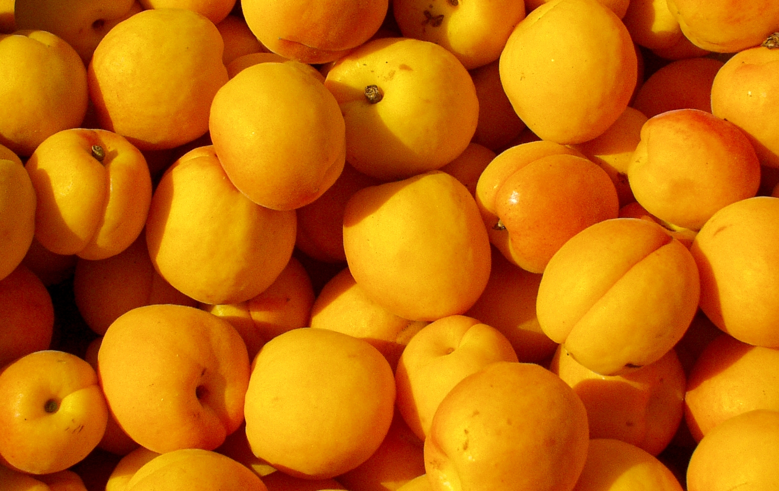 Brilliant, first-of-the-season apricots from ACMA Orchards. Photo copyright 2009 by Zachary D. Lyons.
