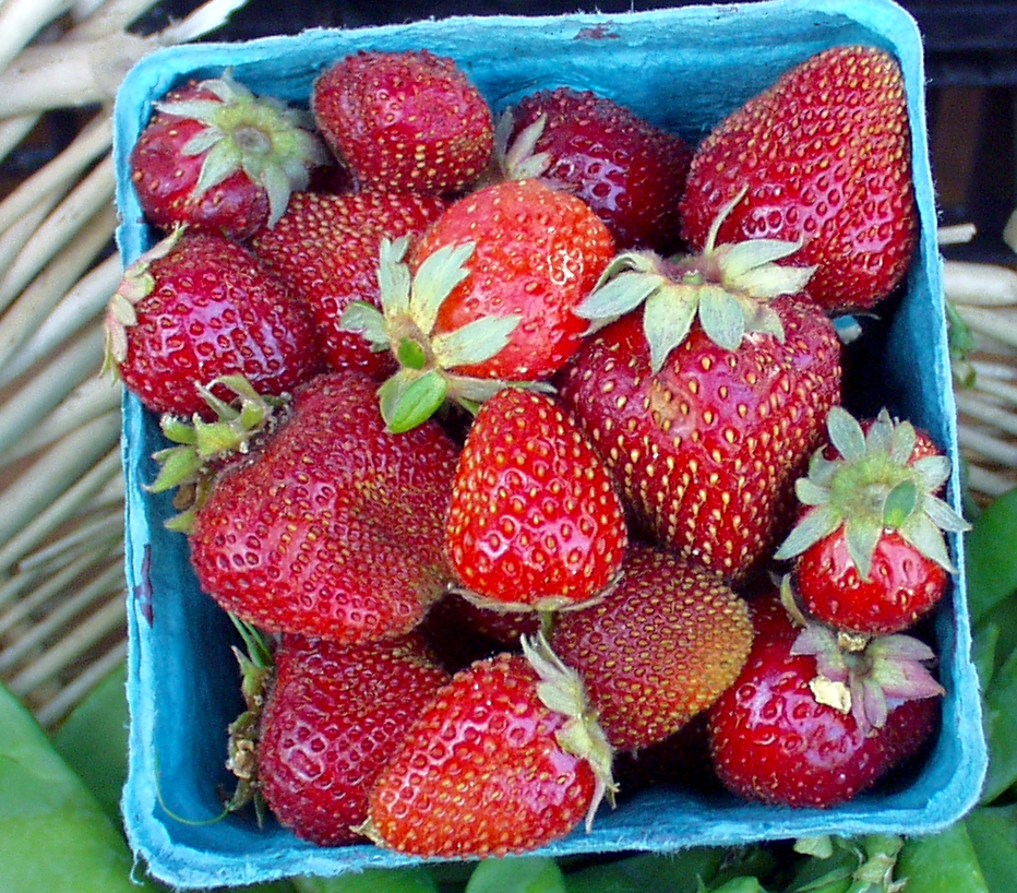Red-ripe and sweet strawberries at Alm Hill Gardens. Photo copyright 2009 by Zachary D. Lyons.