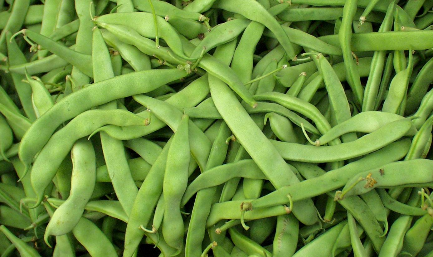 Roma beans from Alvarez. Photo copyright 2009 by Zachary D. Lyons.