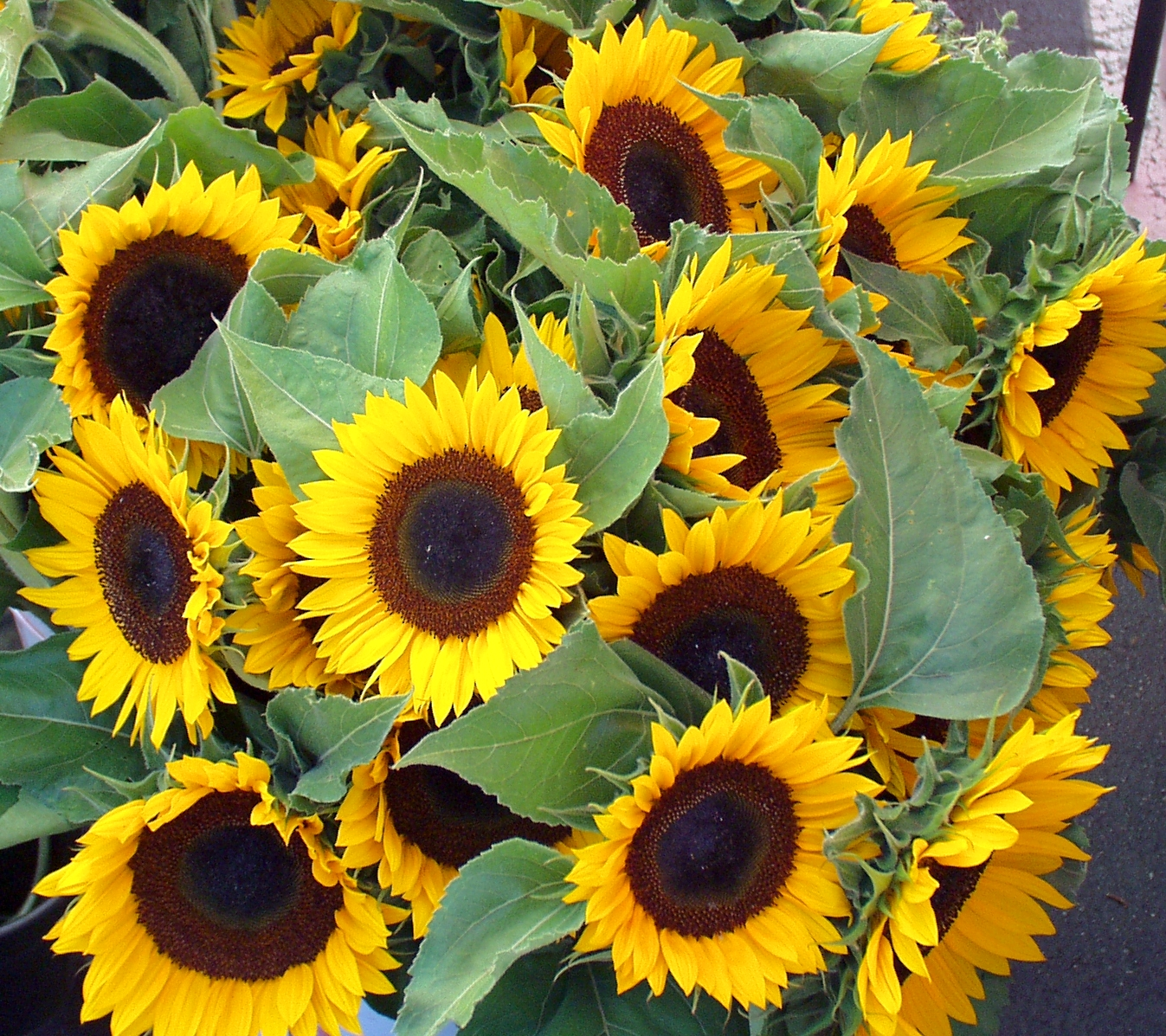 Sunflowers the would make Vincent Van Gogh proud, from Ia's Garden. Photo copyright 2009 by Zachary D. Lyons.
