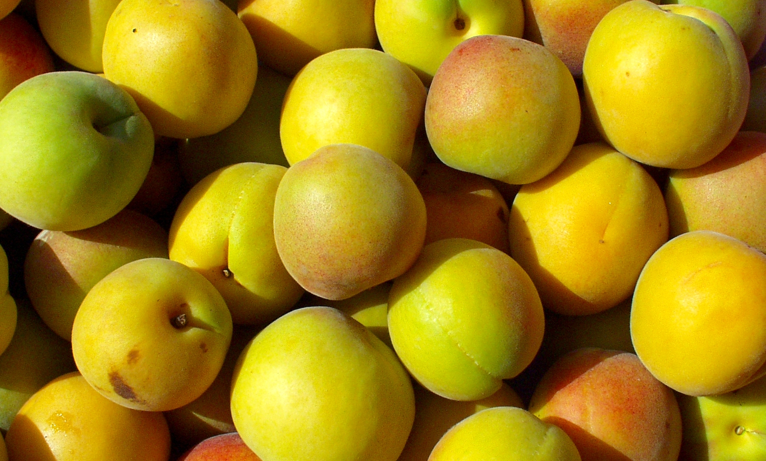Tiny's Peach-cots, a cross between peaches and apricots. Photo copyright 2009 by Zachary D. Lyons.