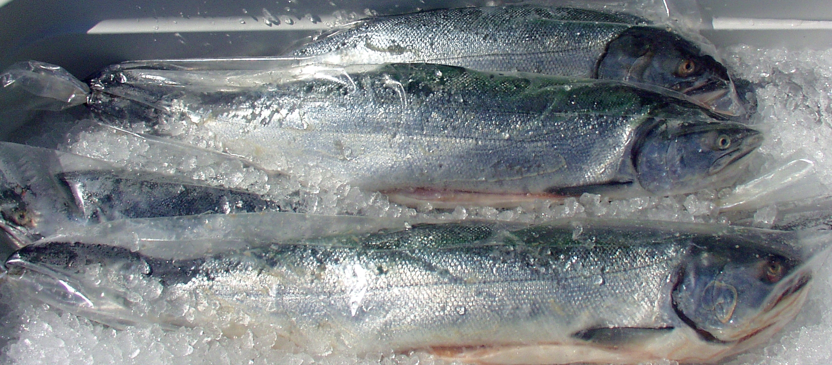 Fresh, whole coho salmon from Wilson Fish. Photo copyright 2009 by Zachary D. Lyons.