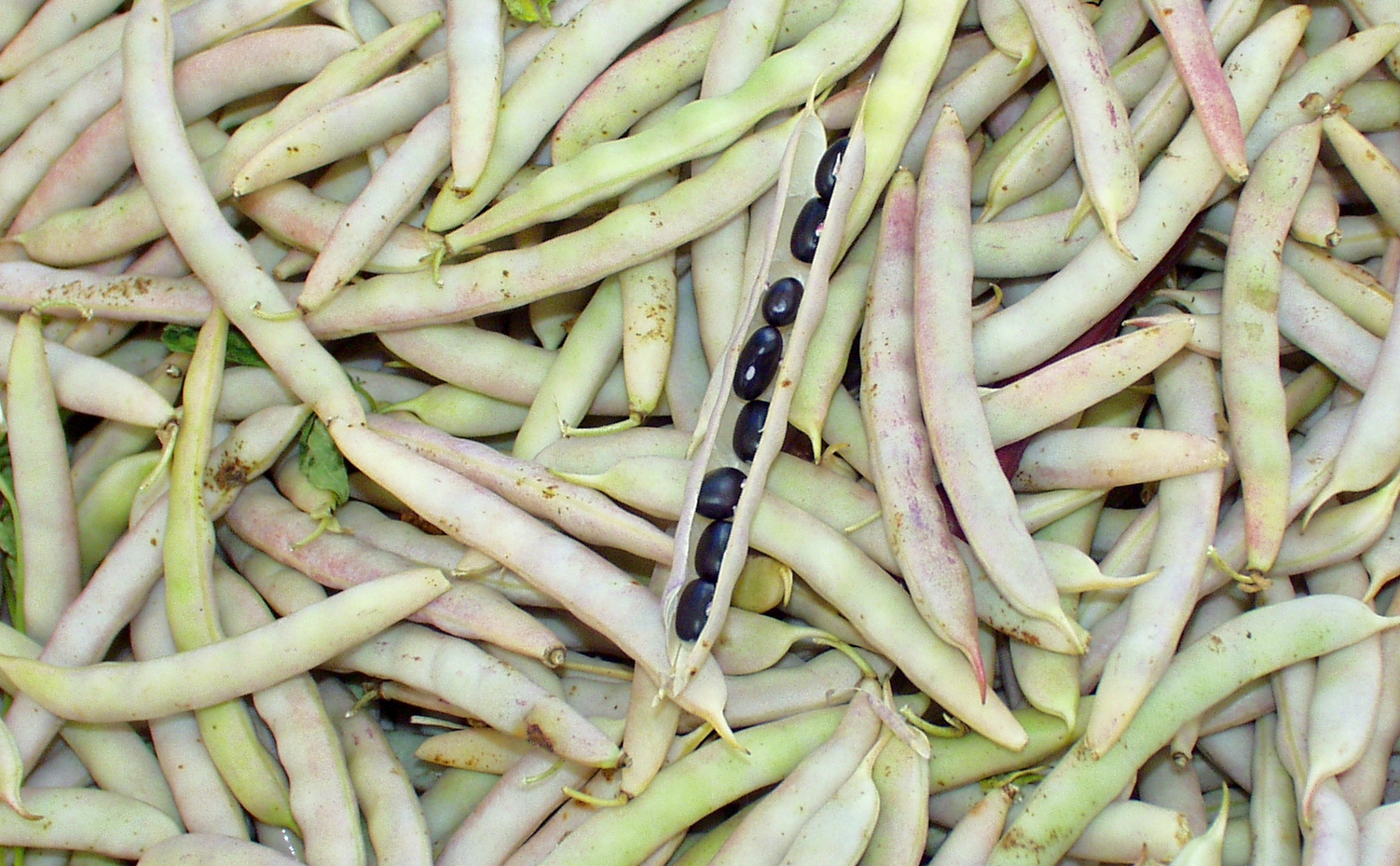 Black Turtle shelling beans from Alm Hill. Photo copyright 2009 by Zachary D. Lyons.