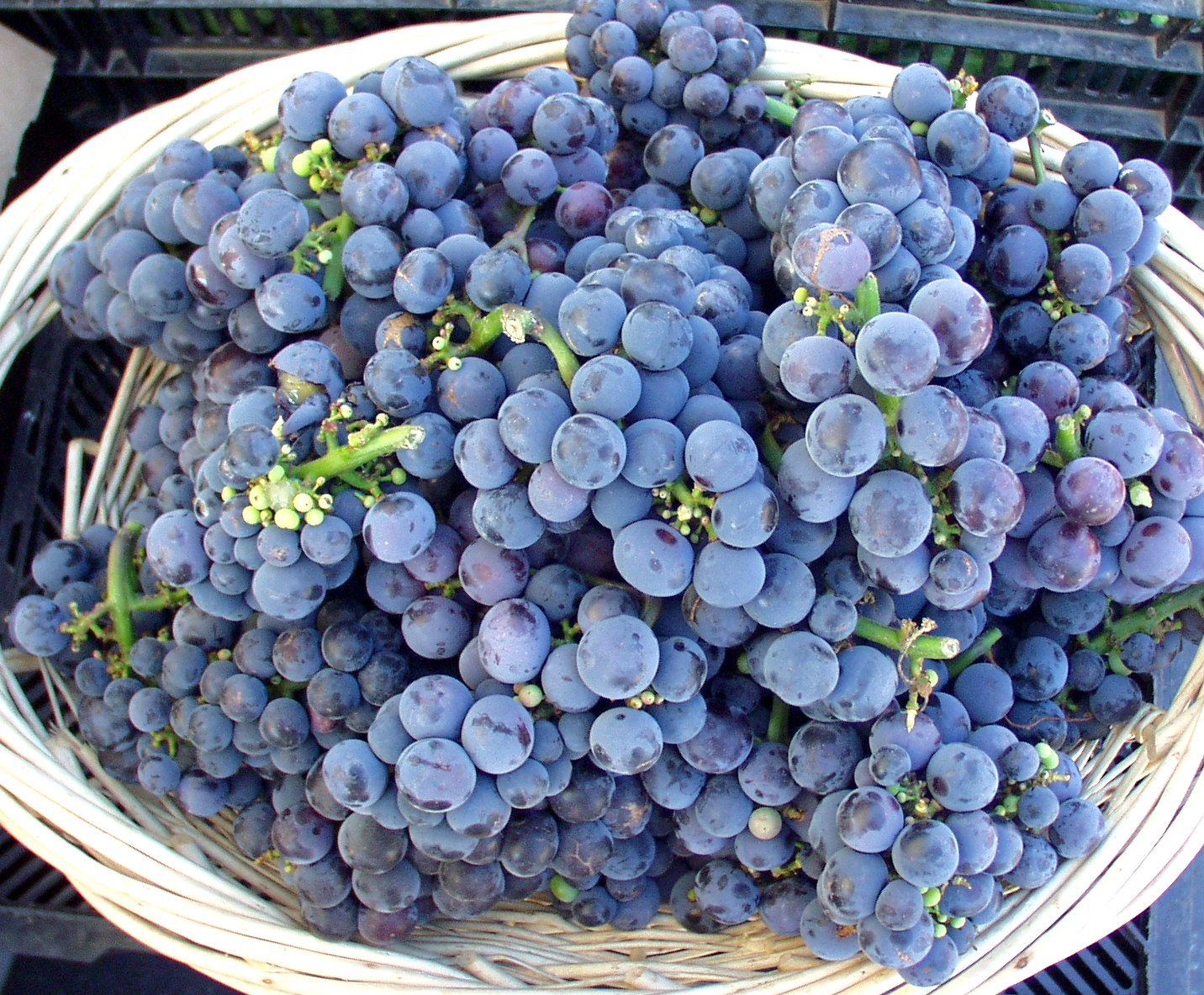 Concord grapes from Alm Hill. Photo copyright 2009 by Zachary D. Lyons.
