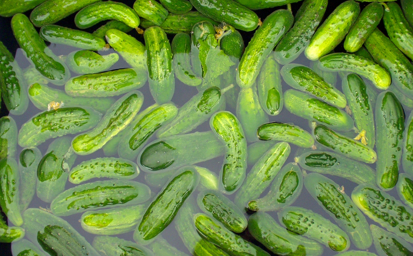 Pickling cukes from Alm Hill. Photo copyright 2009 by Zachary D. Lyons.
