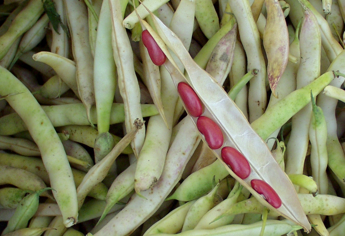 Shelling beans from Alm Hill. Photo copyright 2009 by Zachary D. Lyons.