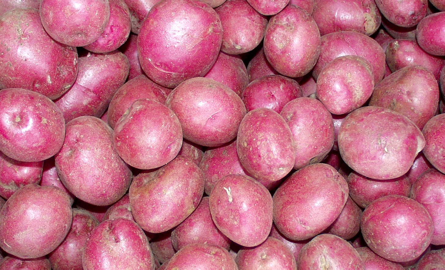 Mountain Rose potatoes from Olsen Farms. Photo copyright 2009 by Zachary D. Lyons.