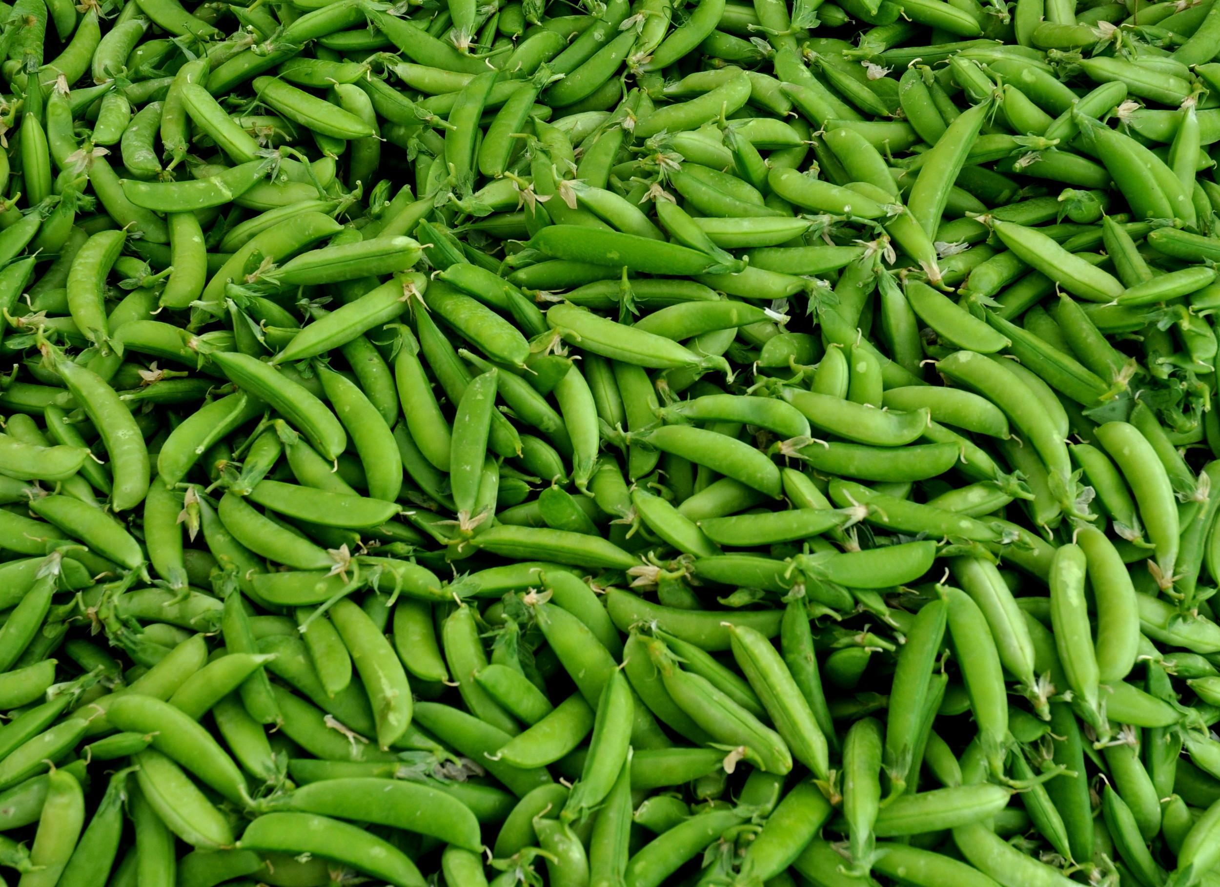 Sugar snap peas from Alvarez Organic Farms. Photo copyright 2012 by Zachary D. Lyons.
