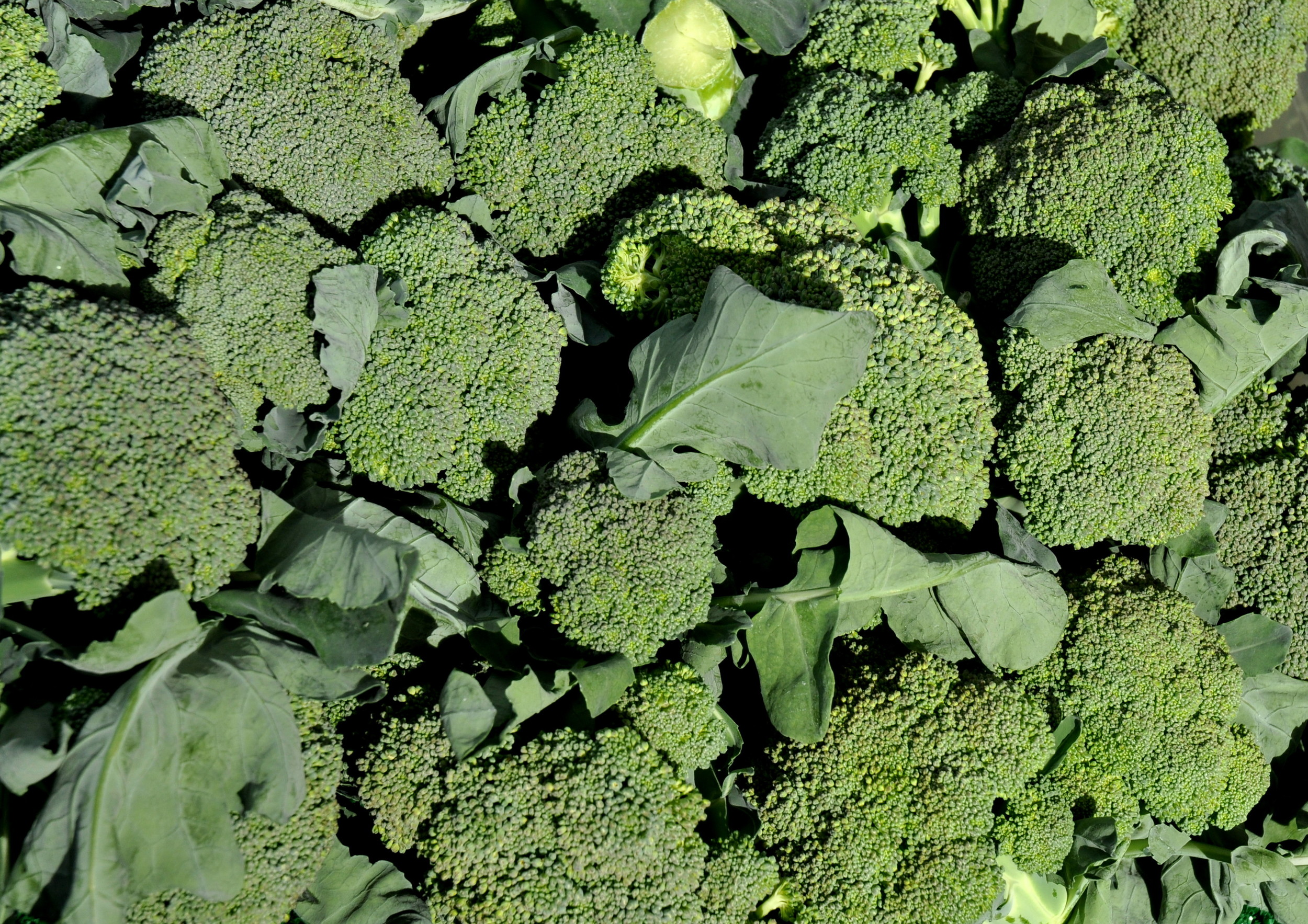 Broccoli from Alm Hill Gardens (a.k.a., Growing Washington). Photo copyright 2013 by Zachary D. Lyons.